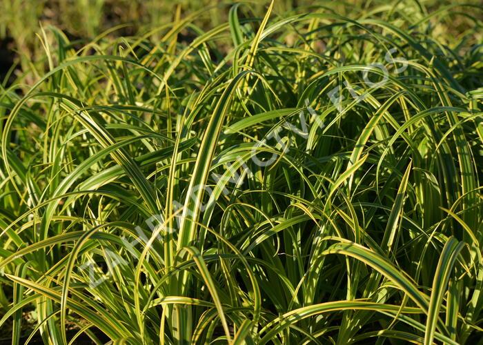 Ostřice 'Rekohu Sunrise' - Carex trifida 'Rekohu Sunrise'