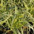 Ostřice ošimenská 'Feather Falls' - Carex oshimensis 'Feather Falls'