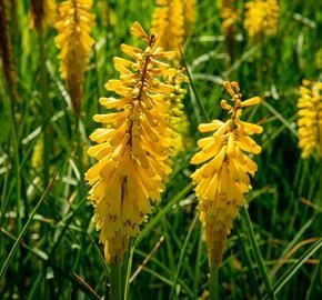 Kleopatřina jehla 'Sunningdale Yellow' - Kniphofia 'Sunningdale Yellow'