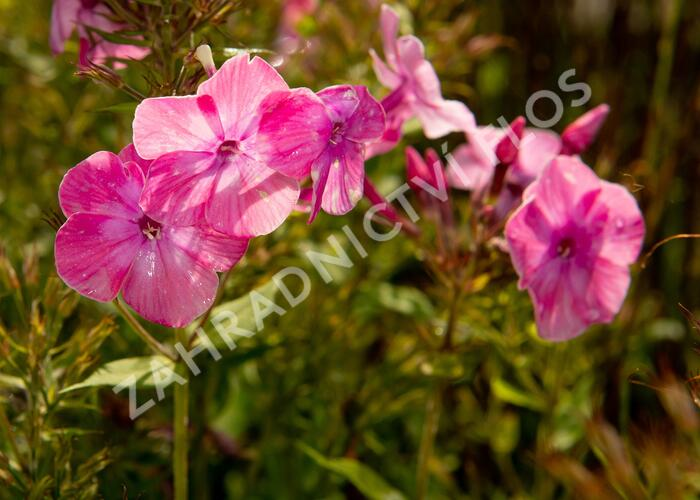 Plamenka latnatá 'Flame Light Pink' - Phlox paniculata 'Flame Light Pink'