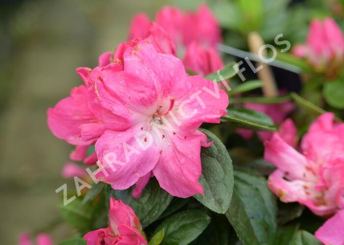 Azalka japonská 'Evergreen Bicolor' - Azalea japonica 'Evergreen Bicolor'