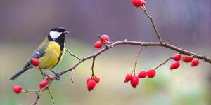 sýkorka na šípkovém keři_zahrada pro ptáky