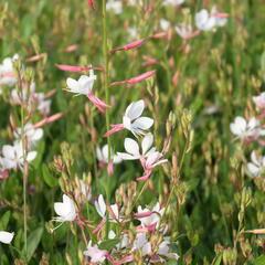 Svíčkovec 'Flamingo White' - Gaura lindheimeri 'Flamingo White'