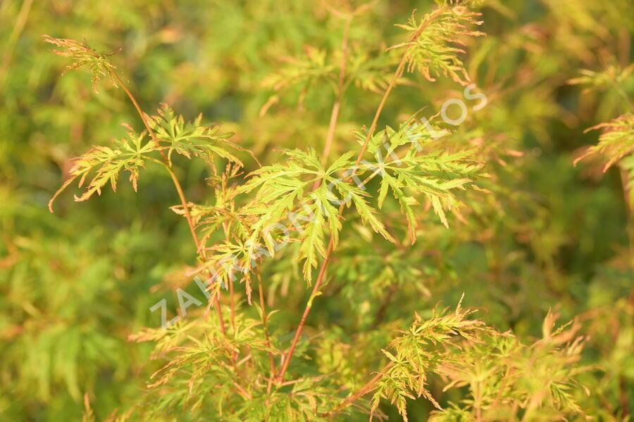 Javor dlanitolistý 'Seiryu' - Acer palmatum 'Seiryu'