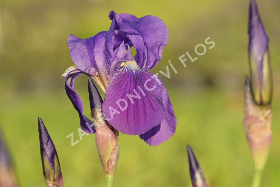 Kosatec německý 'Lovely Again' - Iris barbata-elatior 'Lovely Again'