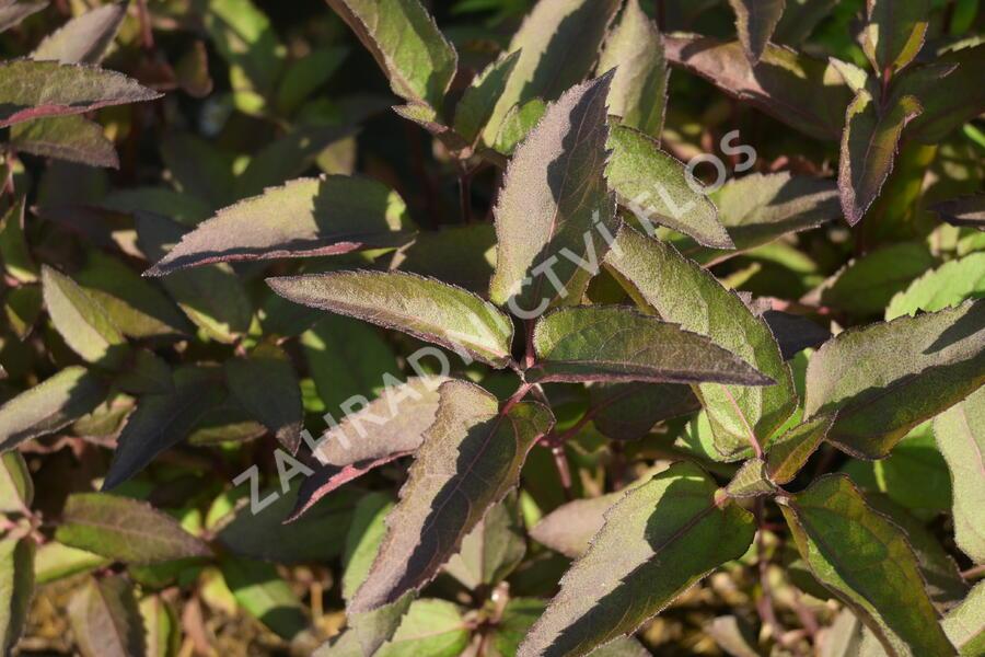 Janeba drsná 'Helios Sunset' - Heliopsis helianthoides 'Helios Sunset'