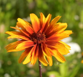 Janeba drsná 'Helios Fireball' - Heliopsis helianthoides 'Helios Fireball'
