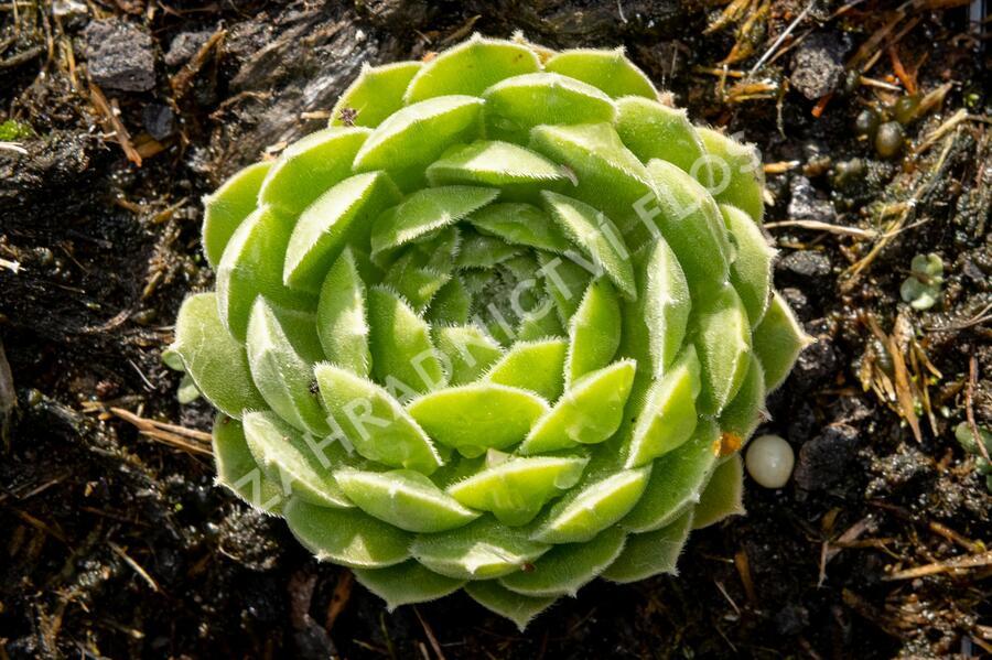 Netřesk velkokvětý - Sempervivum grandiflorum