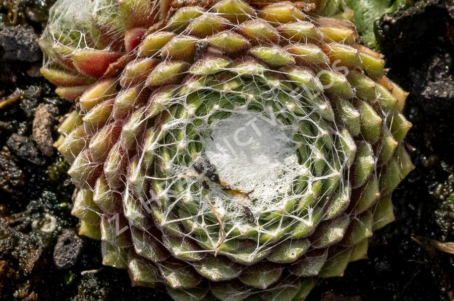 Netřesk pavučinatý 'Rubrum' - Sempervivum arachnoideum 'Rubrum'