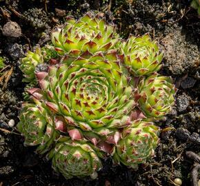 Netřesk - Sempervivum roseum 'Fimbriatum'