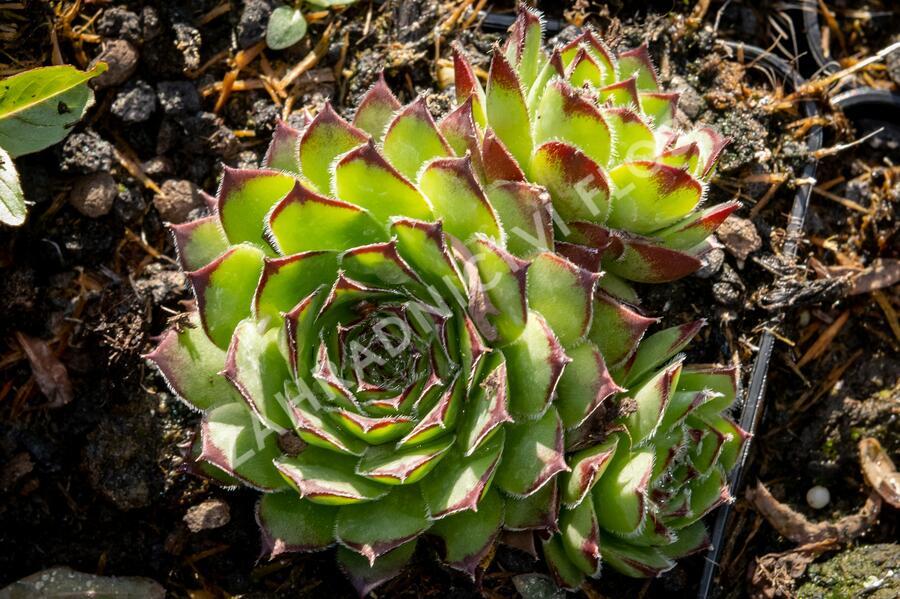 Netřesk 'Alpinum' - Sempervivum tectorum 'Alpinum'