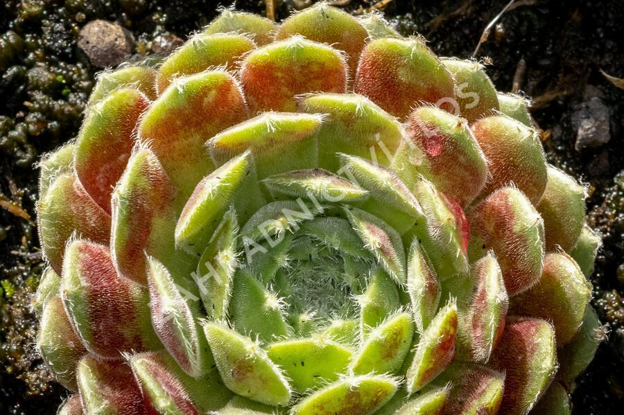 Netřesk 'Weberianum' - Sempervivum 'Weberianum'