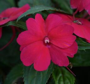 Netýkavka 'Sun Standing Ruby Red' - Impatiens Neu-Guinea 'Sun Standing Ruby Red'