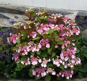 Hortenzie velkolistá Dolce 'Gipsy' - Hydrangea macrophylla Dolce 'Gipsy'