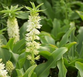 Chocholatice - Eucomis autumnalis