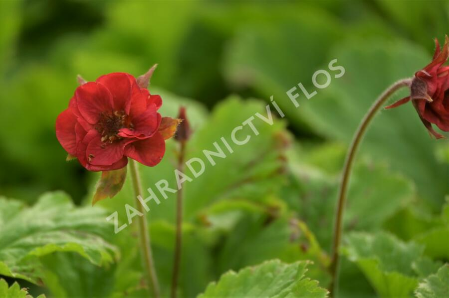 Kuklík 'Flames of Passion' - Geum 'Flames of Passion'