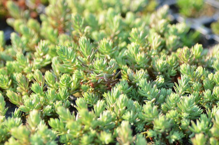 Sedum forsterianum ssp. elegans ''Silver Stone'' (2)