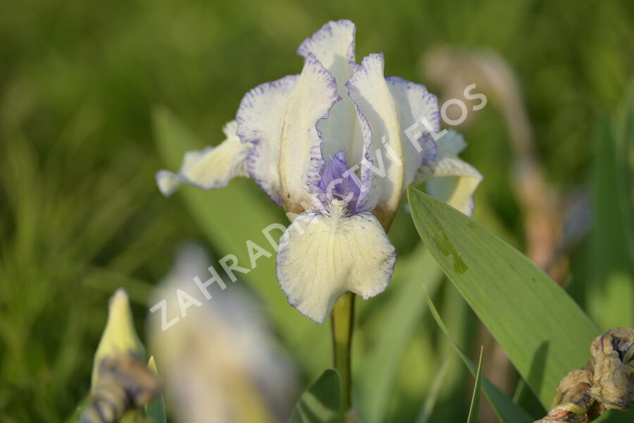 Kosatec nízký 'Lavendel plicata' - Iris barbata-nana 'Lavendel plicata'