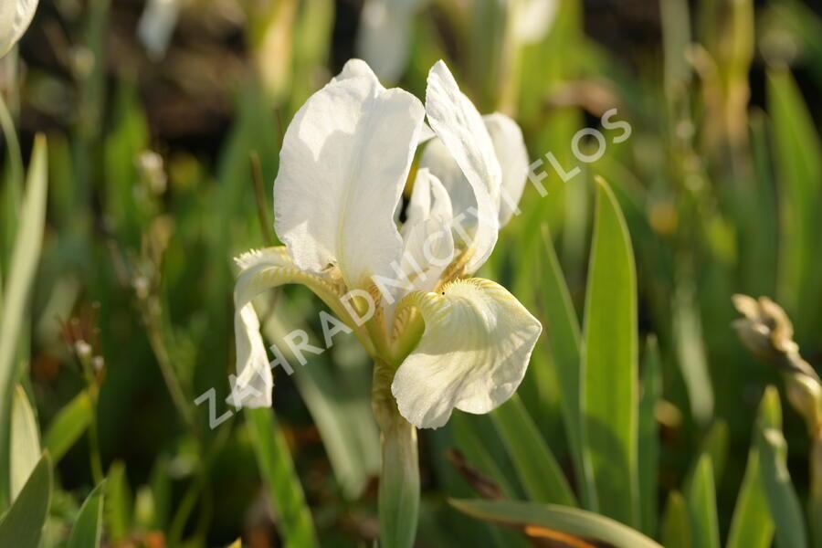 Kosatec nízký 'Die Braut - Iris barbata-nana 'Die Braut'
