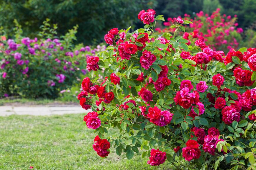 keřové růže v zahradě