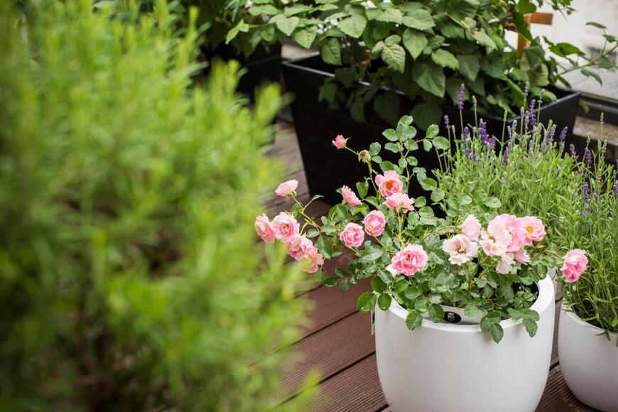 mini růže v nádobě na balkoně