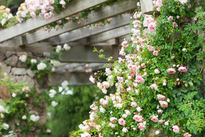 pergola s popínavou mnohokvětou růží