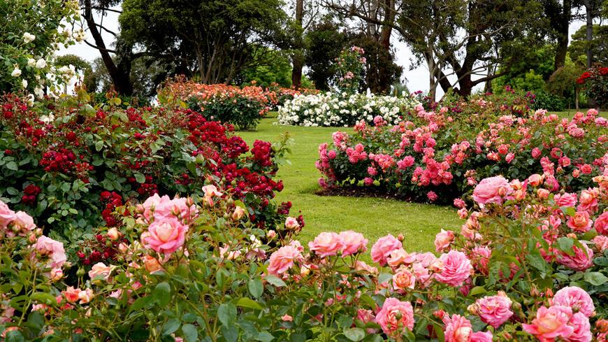 parkové sadové růže