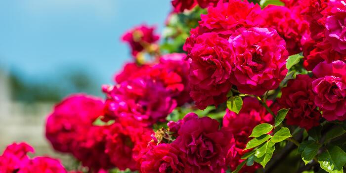 růžový keř