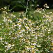 Heřmánek pravý - Matricaria chamomilla