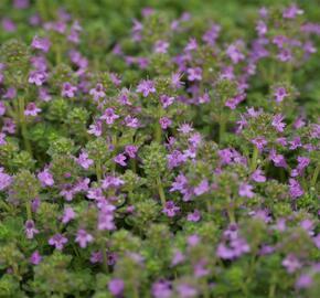 Mateřídouška časná 'Pink Chintz' - Thymus praecox 'Pink Chintz'