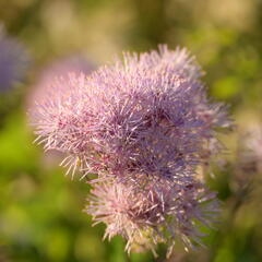 Žluťucha orlíčkolistá 'Nimbus Pink' - Thalictrum aquilegifolium 'Nimbus Pink'