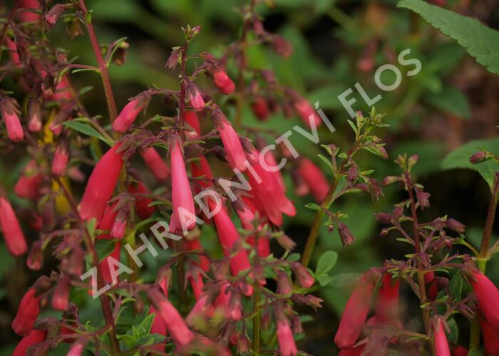 Kapská fuchsie 'Candy Drops Red' - Phygelius capensis 'Candy Drops Red'