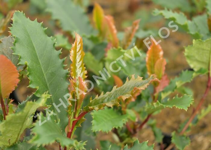 Blýskavka čínská 'Crunchy' - Photinia serratifolia 'Crunchy'