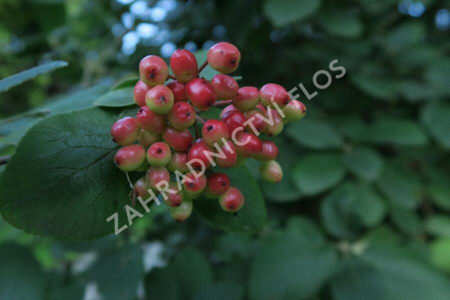 Kalina tušalaj - Viburnum lantana