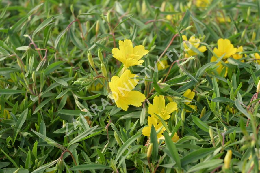 Pupalka  'African Sun' - Oenothera fruticosa 'African Sun'