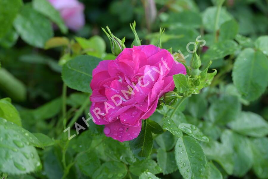Růže parková 'John Cabot' - Rosa S 'John Cabot'