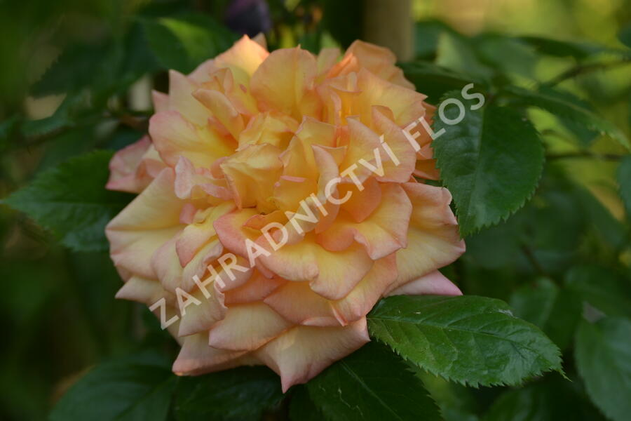 Růže pnoucí Tantau 'Barock' - Rosa PN 'Barock'