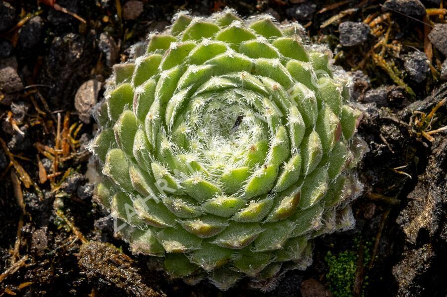 Netřesk 'Ordensstern' - Sempervivum 'Ordensstern'