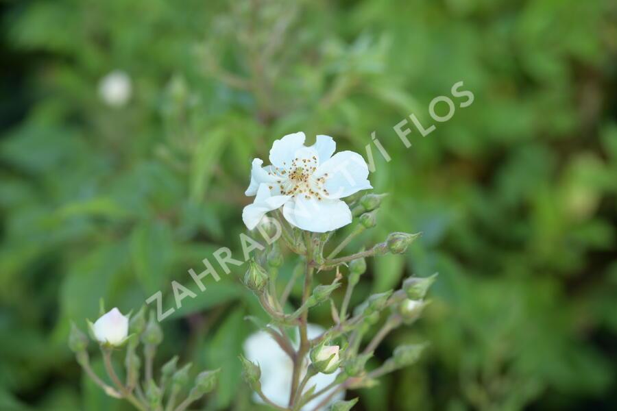 Růže parková 'Esprit d'Amour' - Rosa S 'Esprit d'Amour'