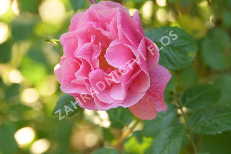 Růže pnoucí 'Camelot' - Rosa PN 'Camelot'
