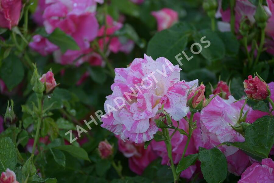 Růže pnoucí 'Candy Land' - Rosa PN 'Candy Land'