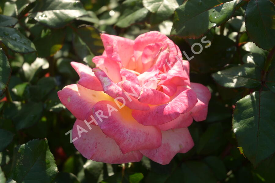 Růže velkokvětá 'Sunrise' - Rosa VK 'Sunrise' (Michel Desjoyeaux)