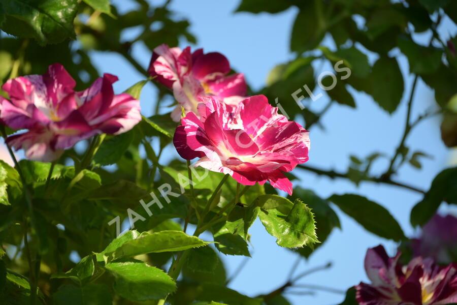 Růže pnoucí 'Purple Splash' - Rosa PN 'Purple Splash'
