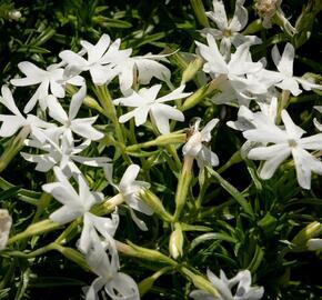 Plamenka šídlovitá 'Snowflake' - Phlox subulata 'Snowflake'