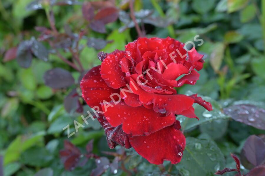 Růže velkokvětá Meilland 'Graaf Lennart' ('Marcel Pagnol') - Rosa VK 'Graaf Lennart' ('Marcel Pagnol')