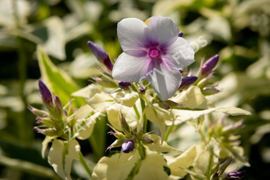 Plamenka latnatá 'Nora Leigh' - Phlox paniculata 'Nora Leigh'