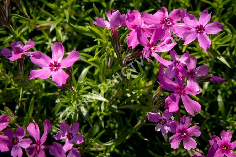 Plamenka šídlovitá 'Crimson Beauty' - Phlox subulata 'Crimson Beauty'