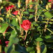 Růže mini Meilland 'Zepeti' ('Meibenbino') - Rosa MI 'Zepeti' ('Meibenbino')