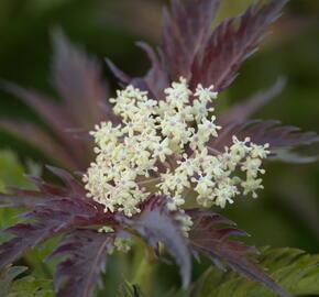 Bez černý 'Jonade' ('Serenade') - Sambucus nigra 'Jonade' ('Serenade')