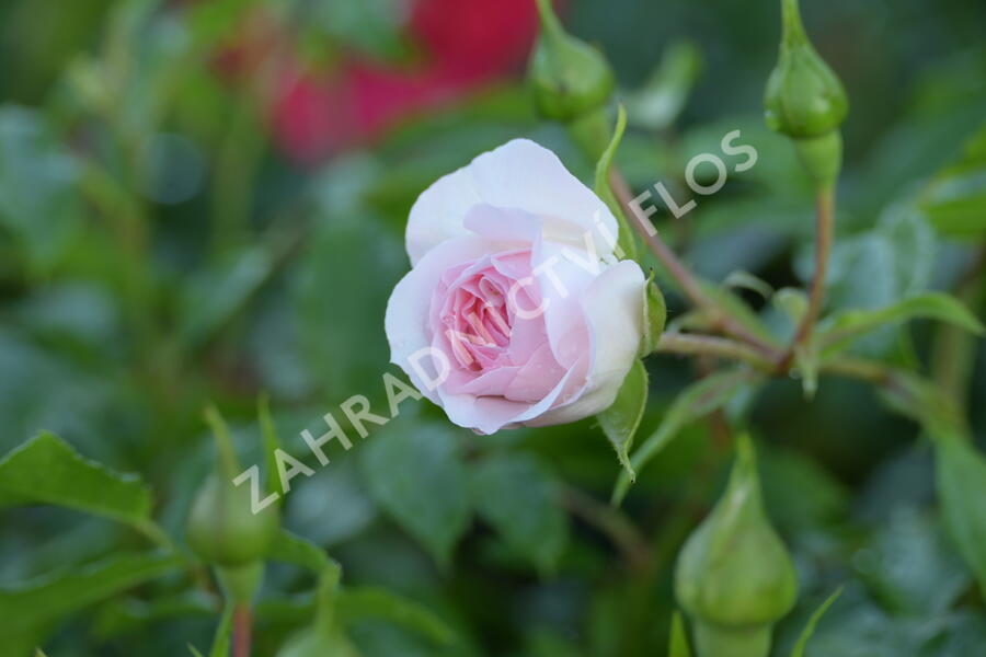Růže půdopokryvná 'Larissa' - Rosa PP 'Larissa'